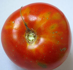 Orthotospovirus - A tomato infected with tomato spotted wilt virus.