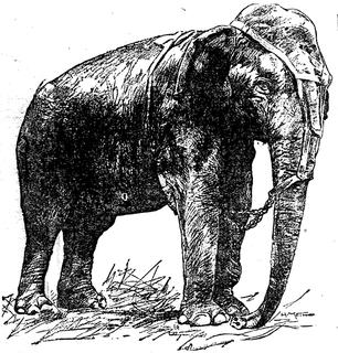 Topsy (elephant) female Asian elephant