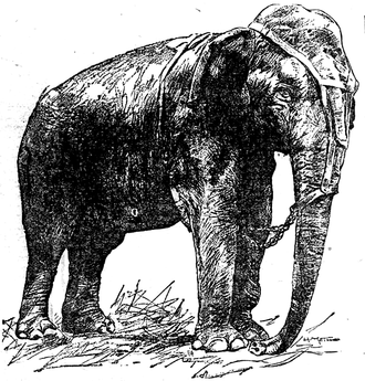Topsy (elephant) - Topsy in a June 16, 1902 St. Paul Globe illustrations for a story about the elephant killing spectator Jesse Blount. The martingale harness was intended to partially restrain the elephant.
