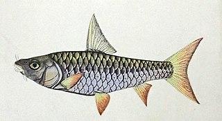 <i>Tor tor</i> Species of fish