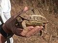 Tortoise near Taroudannt (12384859694).jpg