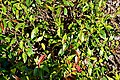 Trachelospermum jasminoides 02.jpg