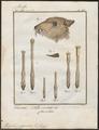 Tragulus pygmaeus - kop en poten - 1700-1880 - Print - Iconographia Zoologica - Special Collections University of Amsterdam - UBA01 IZ21500174.tif
