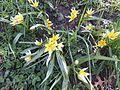 Trauttmansdorff gardens - Tulipa turkestanica 02.jpg