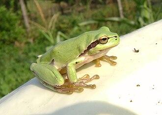 European tree frog - Image: Tree frog in Romania