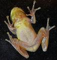 Tree frog underside.jpg