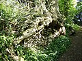 Tree root - geograph.org.uk - 489048.jpg
