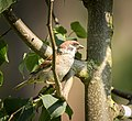 Tree sparrow (29944027744).jpg