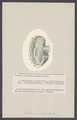 Tridacna - Print - Iconographia Zoologica - Special Collections University of Amsterdam - UBAINV0274 005 05 0022.tif