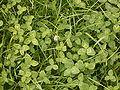 Trifolium repens 01 ies.jpg