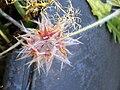 Trifolium stellata Closeup2 2008-6-15 Puertollano.jpg