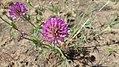 Trifolium thompsonii 1.jpg