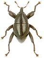 Trigonopterus conformis holotype - ZooKeys-280-001-g015.jpg