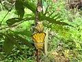 Troides minos - Southern Birdwing pupa at Thattekkadu (9).jpg