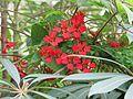 Tropaeolum speciosum - Flickr - peganum.jpg