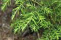 Tsuga heterophylla foliage.JPG