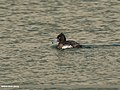 Tufted Duck (Aythya fuligula) (34932515665).jpg