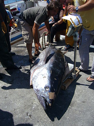 Tuna - Image: Tuna Fish
