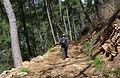 Turkish pine trees, Canyon Kapıkaya 08.jpg