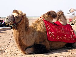 hur mycket är en kamel värd
