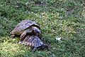 Turtles mating-IMG 5530.JPG