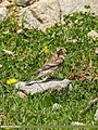 Twite (Carduelis flavirostris) (36238707200).jpg