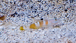 Two Spot Goby.jpg