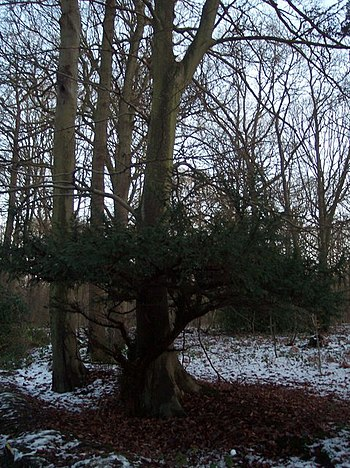 English: Two in one tree in Blean Woods This c...
