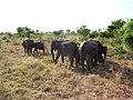 Udawalawe National Park - උඩවලව ජාතික උද්යානය 2012 - panoramio (6).jpg