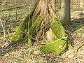 Ulmus Laevis Buttress root 108.jpg