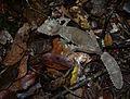 Unidentified Leaf-tailed Gecko, Andasibe, Madagascar (3899498503).jpg