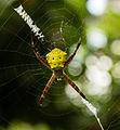 Unidentified spider, Sukorambi Botanical Gardens 01.jpg