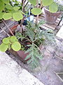Unknown plant 2 Paris.jpg