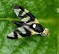 Urophora.cardui.female.jpg