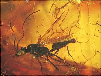 Dolichoderinae - Usomyrma mirabilis