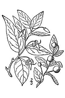 <i>Vaccinium erythrocarpum</i> Species of cranberry