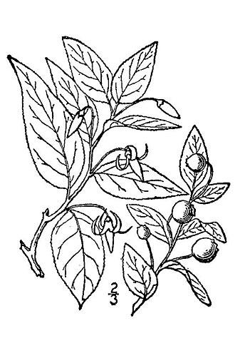 Vaccinium erythrocarpum - 1913 illustration