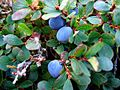 Vaccinium gaultherioides PID1628-1.jpg