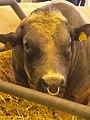Vache bleue du Nord taureau.jpg