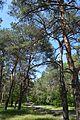 Velyka Oleksandrivka Nedohirskiy Forest 07 (YDS 0978).jpg