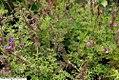 Verbena canadensis Imagination 2zz.jpg