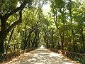 Viale Centrale - parco di Capodimonte.jpg