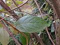 Viburnum rhytidophyllum 2015-04-16 345.jpg