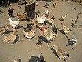 Village poultry 3 (4332616770).jpg