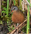 Virginia Rail (Rallus limicola) Upper Pool Marshbird Survey 06 May 2012 (7164440396).jpg