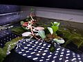 Water Primrose in Aquarium.jpg