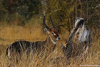 Kobus (antelope) - Image: Waterbuck (4405326082)