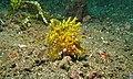 Weedy Scorpionfish (Rhinopias frondosa) (6072838467).jpg