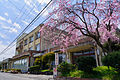 Weeping cherry tree in Daianji elementary school 01.jpg
