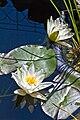 Weiße Seerose IMG 5459.jpg